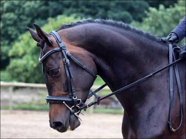 Je suis utilisé pour la compétition équestre partout dans le monde. Je suis un cheval actif aux allures déliées, et je suis réputé pour ma nature docile et mon intelligence. Je suis le hollandais à sang chaud ou le...
