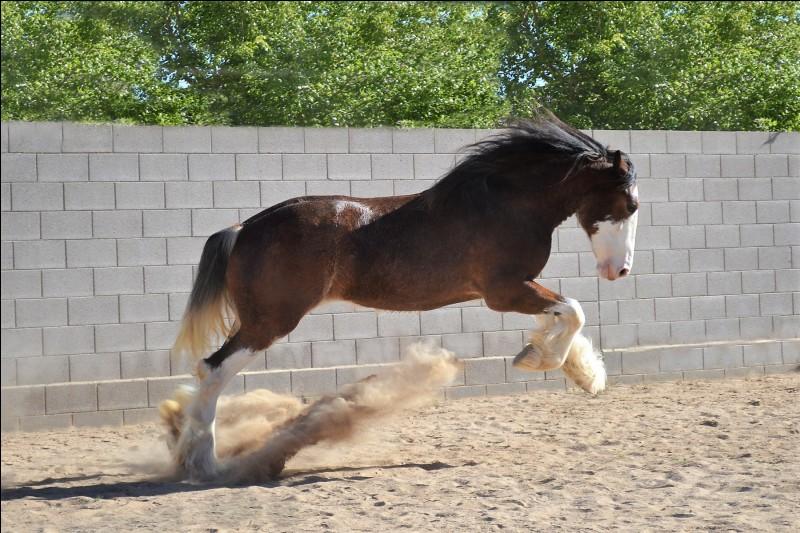 Je viens d'Écosse, et je suis un cheval vif, énergique et intelligent, doté d'un bon tempérament. Malgré ma grande taille de cheval de trait, j'affiche une silhouette raffinée. Je suis un cheval charmant et alerte, je fais preuve d'un caractère équilibré et j'apprécie la compagnie de mes congénères, comme celle des hommes. Je suis principalement bai. Je suis le...