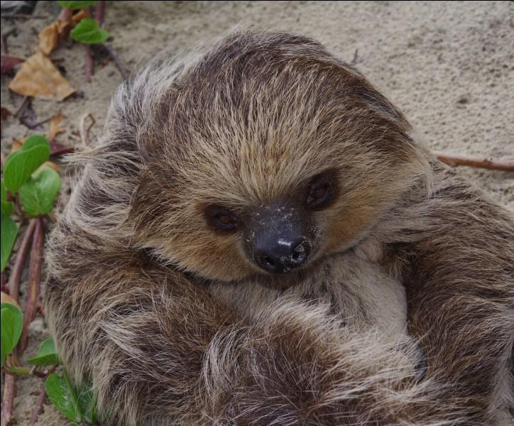 Cet animal, appelé aussi Unau est un paresseux, qu'a-t-il de particulier ?