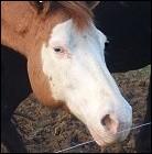 Comment s'appelle ce type de marque sur la tête du cheval ?