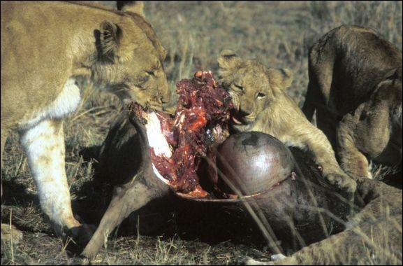 Un carnivore est :