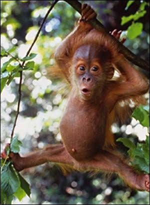 Les singes les plus proches de l'homme en intelligence sont :