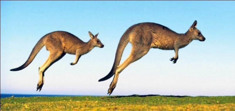 Quel est le régime alimentaire du kangourou ?