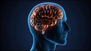 Les nerfs relient tous nos organes à la moelle épinière ou au cerveau.