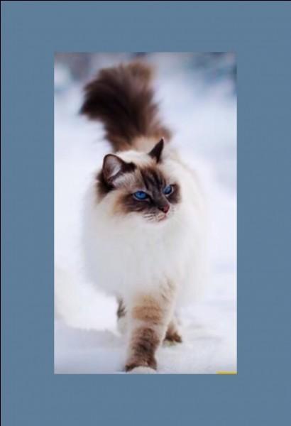 """Un chaton dit """"himalayen"""", de formes assez proches du persan, vous coûterait entre 500 et 1 200 €. Il a été """"développé"""" dans les années 50. D'où vient-il ?"""