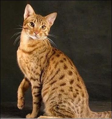 Cette race de chat a été créée aux Etats-Unis en 1994, principalement pour ressembler au serval ! Mais son nom n'est pas d'ici. Lequel ?