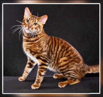 Ce chat, de création récente, l'a été pour inciter le monde à protéger les tigres encore dans la nature. Quel nom lui a-t-on donné ?