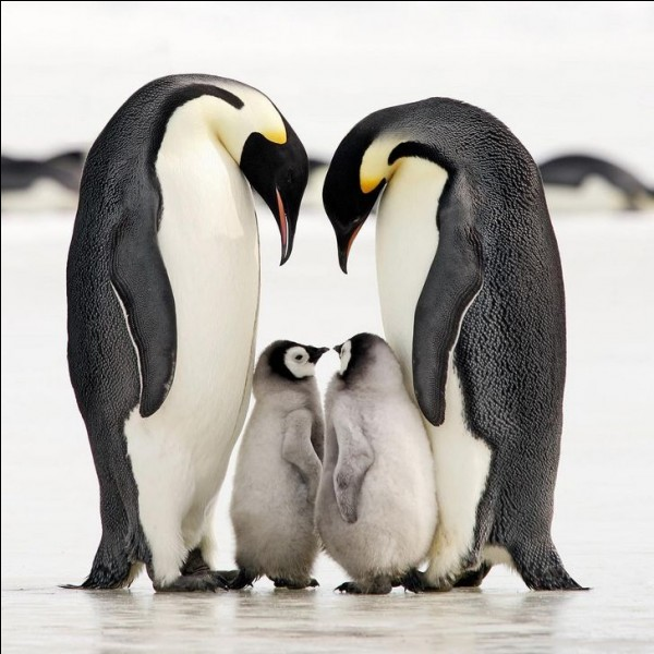 Ces animaux peuvent se reproduire dans l'Antarctique. Alors, comme pour ces petits, quand vous avez une famille vous avez tout. Une recherche sur cette photo dans Google donne : ''pinguine haben nur einen partner''.Quel est leur nom ?