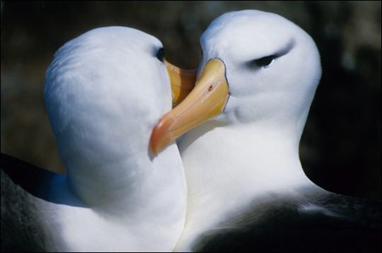 """Ce bel oiseau a été dépeint comme le """"plus légendaire de tous les oiseaux"""". Avec un taux de divorce de 0% il est l'oiseau le plus fidèle du royaume animal et comme le dit le chercheur Noah Strycker """"pour savoir à quoi ressemble une véritable dévotion, il suffit de passer quelque temps avec un ..."""". Quel est cet oiseau qui a quelque chose dans le regard qui va droit au cœur ?"""