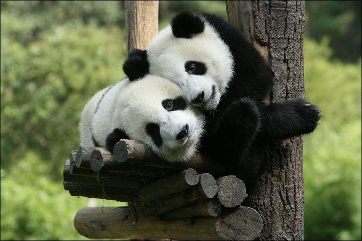 ''Je t'aime tous les jours un peu plus'', semblent-ils se dire. Ces animaux sains et naturels, passent leur vie à manger des bambous et se promener dans la forêt et sont de bons grimpeurs et nageurs.Quel est le nom de ces animaux qui passent la moitié de la journée à chercher de quoi à se nourrir pendant qu'ils occupent l'autre moitié à dormir pour se reposer de l'effort consacré à la tâche ?