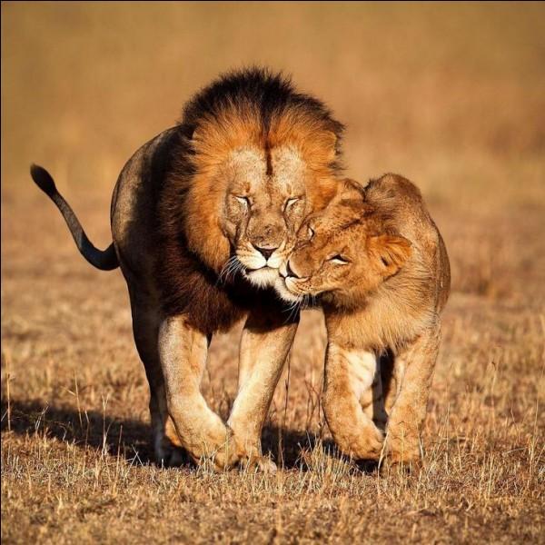 Ces beaux félins expriment ce qui nous semble être des émotions compréhensibles. Ce sont des animaux sociaux qui ont beaucoup de moyens pour les communiquer. Gardons nos distances parce que ce sont d'abord des bêtes impulsives, névrotiques et en recherche de domination.Identifiez l'espèce du couple qui nous montre que ''l'amour consiste à voir le monde ensemble, même les yeux fermés'' ?