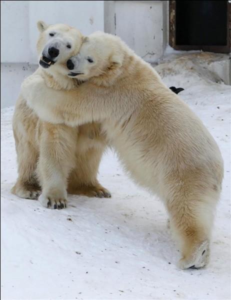 ''Allez viens jouer'' semblent-ils se dire. La recherche Google sur cette photo donne que ces 2 plus grands ursidés de la planète sont amoureux. La passion cela réchauffe.Merci d'avoir joué et n'oubliez pas de cocher à l'endroit approprié.