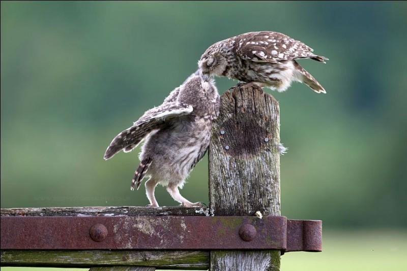 Celle-ci est émouvante. La légende où j'ai trouvé cette photo (Snugles) : ''Une caresse est la seule chose dont nous avons besoin dans la vie''. Ils me semblent qu'ils sont sur la pointe des pieds ou aspirés vers le haut.Nommez cet oiseau nocturne dont la tête ne porte pas des aigrettes de plumes ?