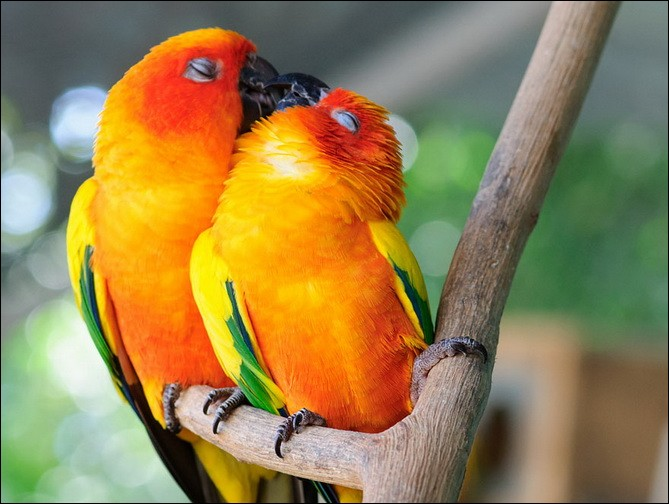 ''Le choix du partenaire se fait au plus jeune âge et ils restent fidèles toute leur vie, et sont encore plus liés en période de reproduction.''Quels sont ces merveilleux oiseaux qui en couple ''cherchent ensemble leur nourriture, se nettoient ensemble, sont sur la même branche pour dormir, dorment collés l'un contre l'autre et s'influencent en tout'' ?