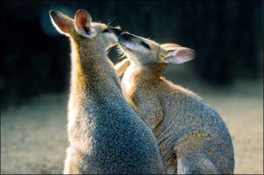 Quels sont ces marsupiaux qui sont semblables à des kangourous de petite taille ?