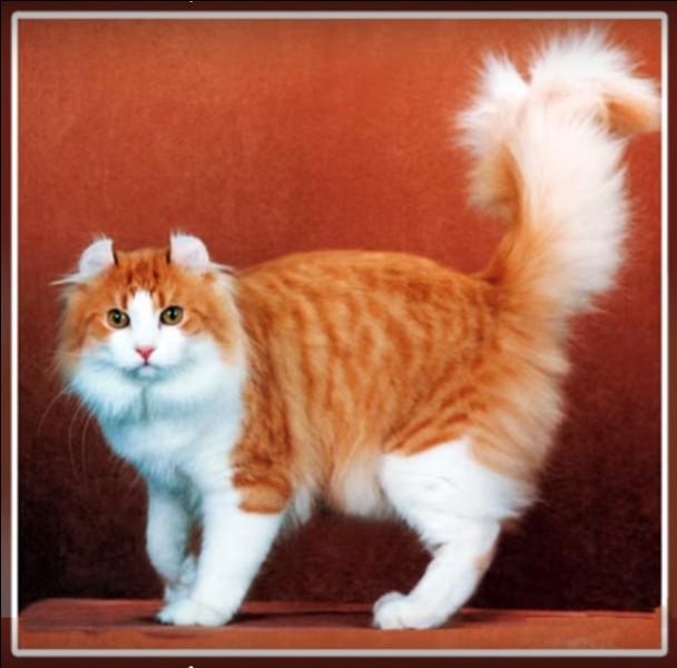 Né dans les années 80, ce chat américain a les oreilles qui se recourbent quelques semaines après la naissance : ce phénomène arrive aussi aux humains ! Dans quelle proportion et quel est ce chat ?