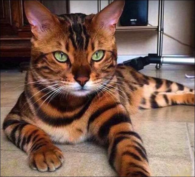 Celui-ci est né d'un croisement avec un chat asiatique, d'où son nom d'un province indienne. Lequel ?