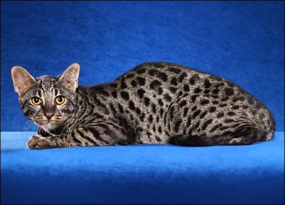 """Le chat """"safari"""" a été créé dans les années 70 : à l'origine, c'était dans le cadre de recherches scientifiques ! dans quel domaine ?"""