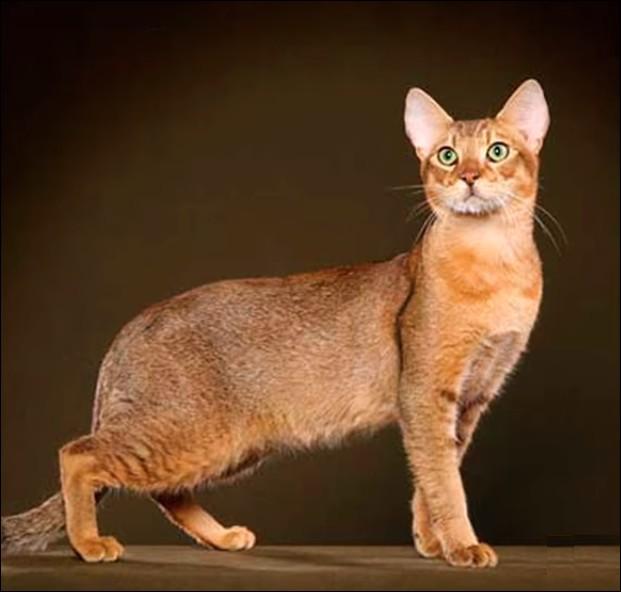 """Le """"chausie"""" est un très rare croisement de chat dit """"de jungle"""" et il a une particularité, mis à part son prix de 5 000 à 7 000 € : laquelle ?"""