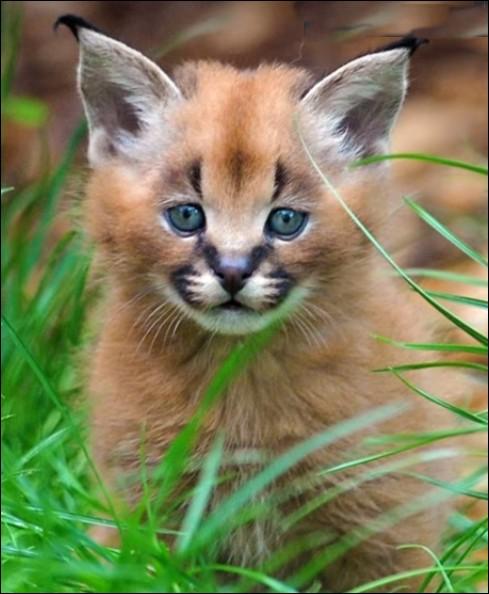 """Ce spécimen est passé du stade de """"prédateur dangereux"""" à celui """"d'animal de compagnie onéreux"""" (dans les 8 000 €). Cette espèce est à part, entre le lynx et le chat. C'est ... (Complétez !)"""