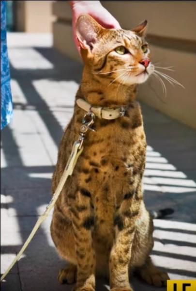 """Le chat """"ashera"""" est l'un des plus chers au monde. C'est le croisement d'un chat de gouttière avec un ... africain, et il a une particularité : laquelle ?"""