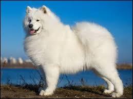Ce chien est un berger blanc suisse.