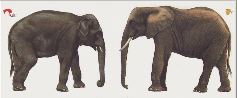 Éléphant d'Afrique, éléphant d'Asie : lequel a les plus petites oreilles ?