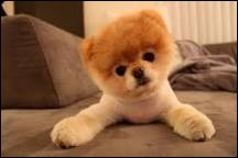 Quelle est la race du chien le plus mignon du monde ?
