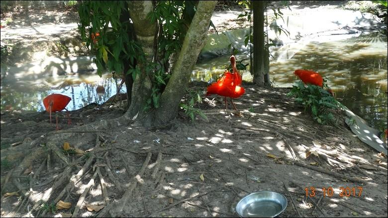 Sur les côtes de Guyane, on les voit passer sur la mangrove, c'est un spectacle magnifique !