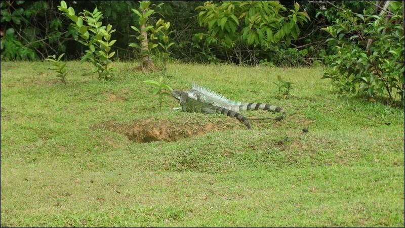 Au départ, ces animaux ne vivaient qu'en Amérique du Sud et Centrale, mais comme l'être humain fait souvent n'importe quoi, on les trouve à présent en Floride !