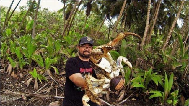 Le crabe des cocotiers est exclusivement végétarien !