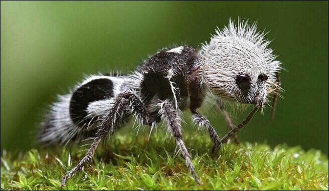 """On surnomme cet insecte """"fourmi panda"""", et il y a une bonne raison pour ça, elle ne consomme que du bambou !"""