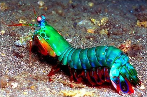 Lorsque la crevette-mante (squille) frappe une proie, ses coups sont tellement rapides et puissants que l'eau se met à bouillir autour !