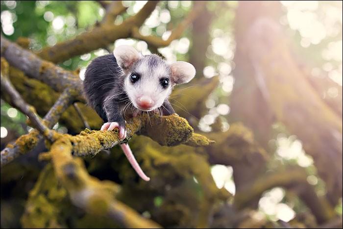 Les marsupiaux ne vivent qu'en Océanie !