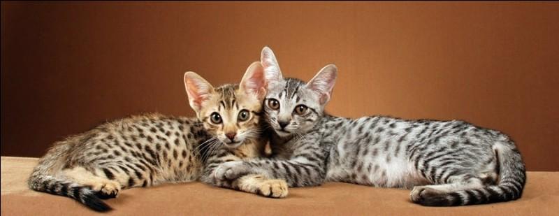 Le chat savannah est obtenu par croisement entre un chat domestique et un ocelot d'Amérique !