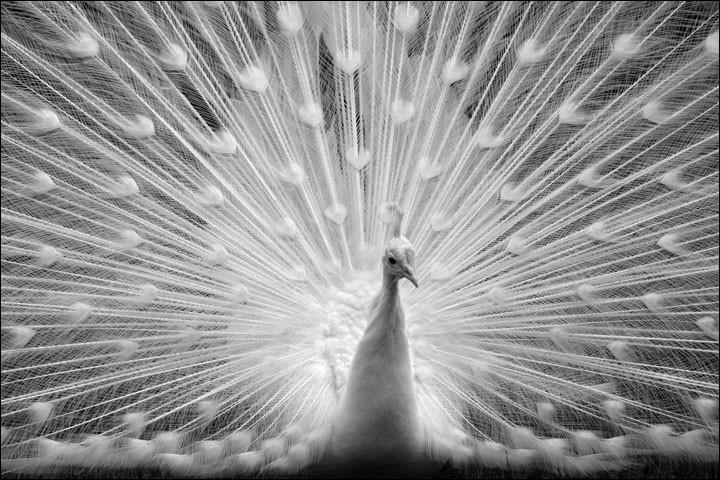 En cochant vis-à-vis du paon, vous admettez que le monde des êtres vivants est plein de différences et que tout cela ajoute à sa qualité.