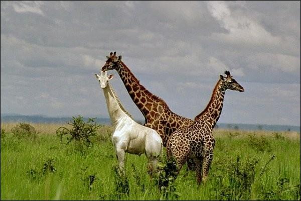 Afrique, long cou.
