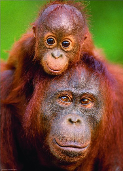Le petit orang-outan reste auprès de sa maman, pendant au moins :