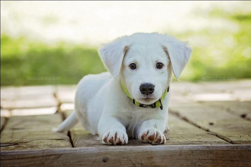 Son 1er chien s'appelle :