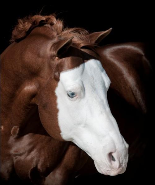 Comment appelle-t-on ce type de tache sur la tête du cheval ?