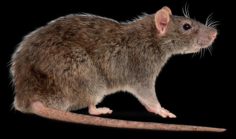 """Dans quel """"Disney"""", les rats sont-ils les personnages principaux ?"""