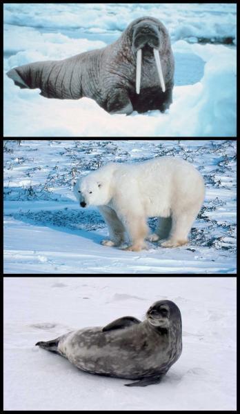 Quel animal de l'Arctique peut peser jusqu'à deux tonnes ?