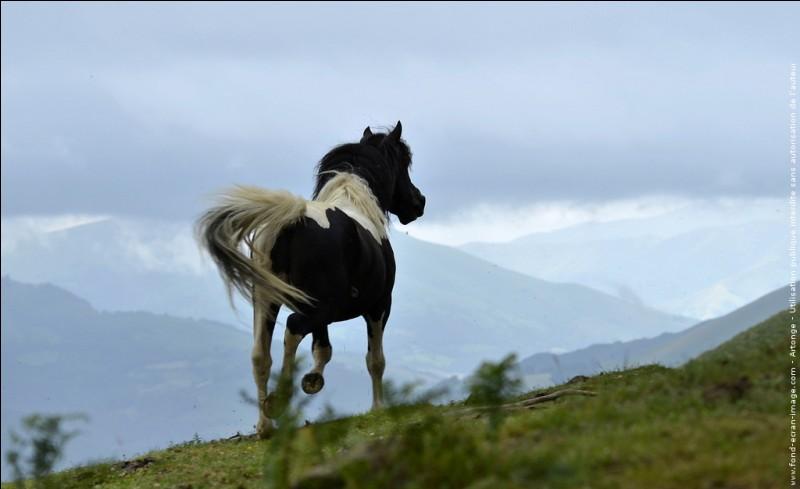 Quel est le nom de ces poneys, qui ne sont plus que 500, et qui ont le privilège de vivre, en toute liberté, au Pays basque ?