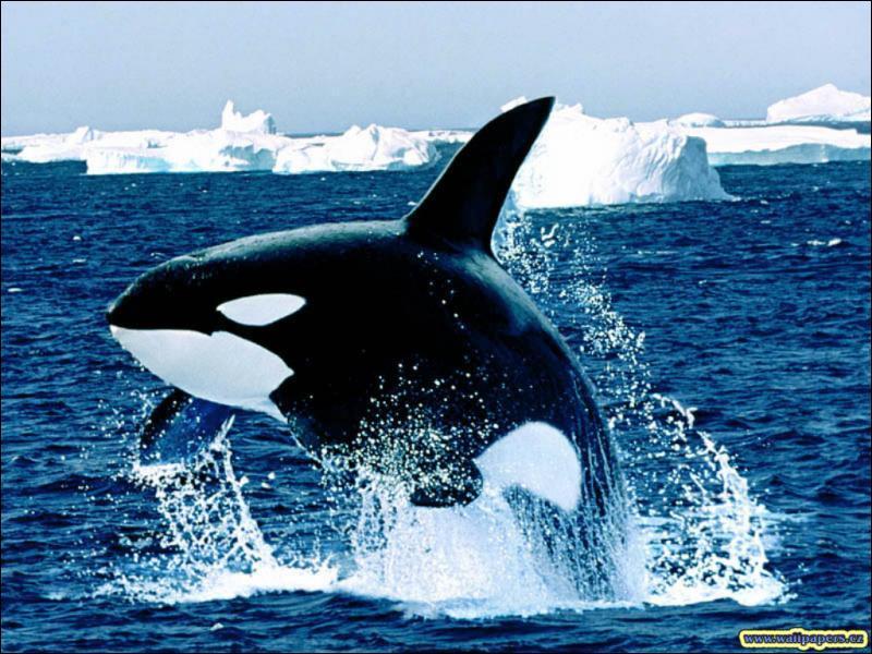 photo de dauphin en noir et blanc