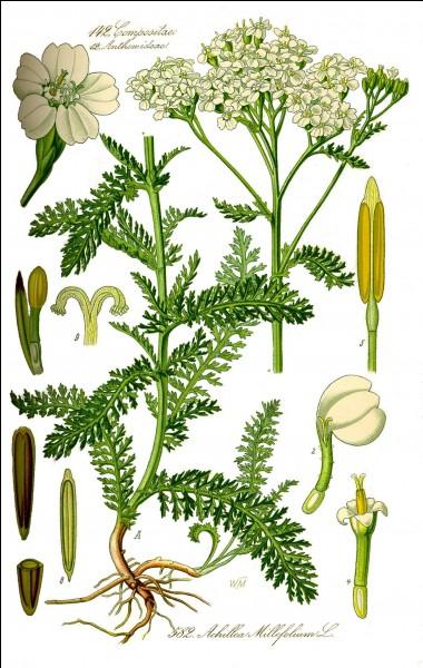 Quelle plante, qui tire son nom du héros grec Achille, est cicatrisante et désinfecte efficacement les blessures ?