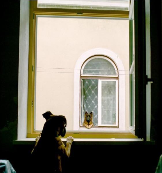 Se regarder par la fenêtre, tout en sachant qu'on ne peut se rejoindre, c'est imaginer sur le thème de la tristesse. Au moins nous, les êtres humains, on peut se crier des consignes, s'appeler au cell. Dans ce contexte, on comprend d'où vient l'expression de mener une vie de Canis lupus.Vous avez 3 choix plus bas pour trouver à quelle espèce animale appartiennent les 2 individus photographiés.