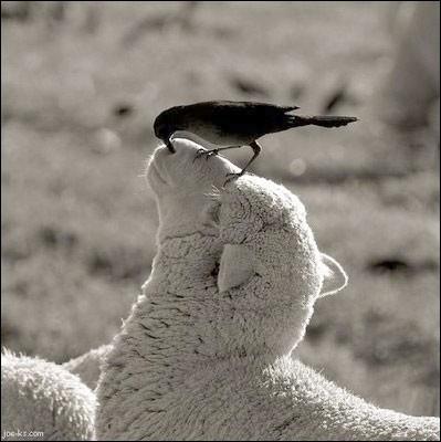 Cette photo atteste de la bonne nature de ce gentil animal : on dit bien doux comme un agneau et ceci même avec un oiseau fouineur dans le nez.Quel est cet animal qui a un fort instinct de suivre son pareil qui marche devant lui et de former ainsi naturellement une file ?