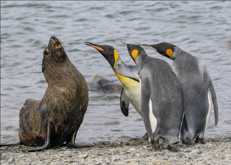 Photo d'Amy Kennedy intitulée ''Bullies'' qui a gagné le ''Comedy Wildlife Awards''. La photo a été prise en Georgie du Sud : il s'agit d'un duo avec un trio qui s'adresse avec vigueur à un pauvre phoque à fourrure antarctique qui semble vouloir dire : ''J'ai compris.'' De quel oiseau aquatique est formé ce trio ?