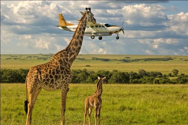 Avouons qu'ils sont un peu trop près : en anglais, la légende avance, en boutade, qu'elle veut manger l'avion. Elle a beau avoir le plus grand cou au monde, elle devait quand même avoir envie d'y voir jusqu'aux passagers de cet avion.Quel est le nom de ce ruminant qui est chez lui dans les savanes africaines ?