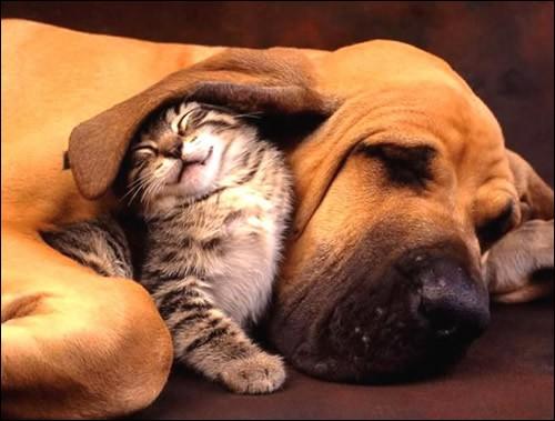 """Ils sont mignons comme tout : en anglais, cette photo est appelée ''Best friends''. ''Tu as de grandes oreilles ! C'est pour mieux te réchauffer. '' Une idée commune est qu'un chat et un chien ne s'entendent pas. Ne dit-on pas """"s'entendre comme chat et chien"""" pour désigner deux personnes qui se disputent sans cesse ? (monchatestroi.fr.)Quel est habituellement, le plus petit des deux ?"""